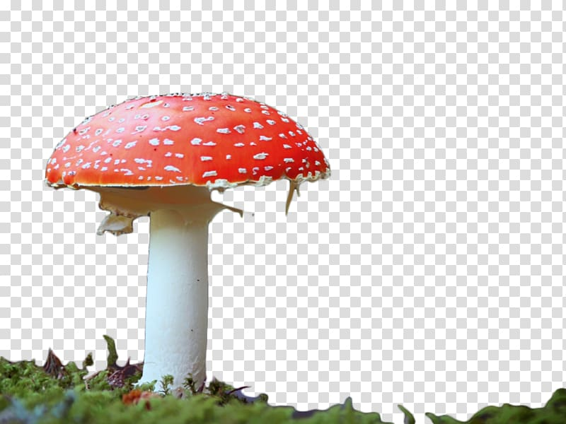 Edible mushroom red transparent. Mushrooms clipart dynamic