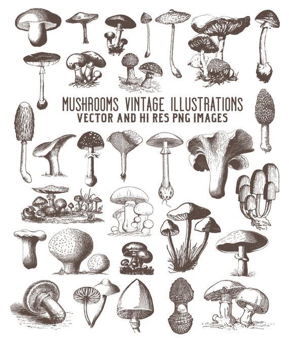 Mushrooms clipart vintage. Mushroom engraving fungi clip