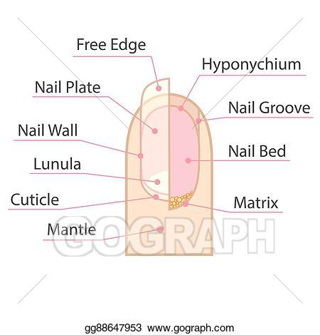 Eps illustration structure vector. Nail clipart human nail