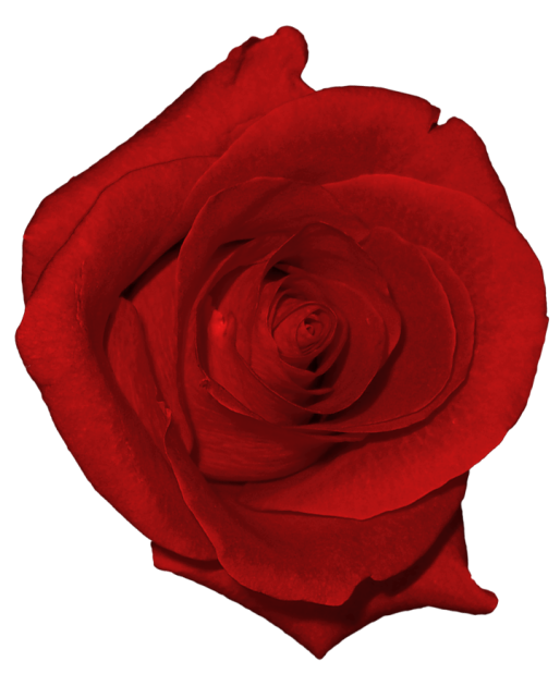 Name clipart real. Red rose png picture
