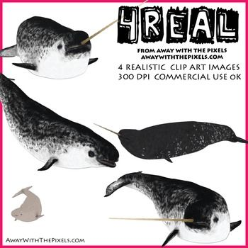 Narwhal clipart male.  real realistic clip