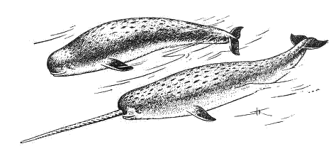 And female animals aquatic. Narwhal clipart male