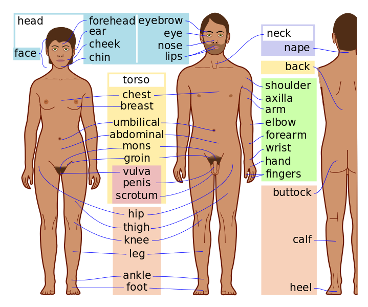 Human anatomical scheme showing. Neck clipart body chest