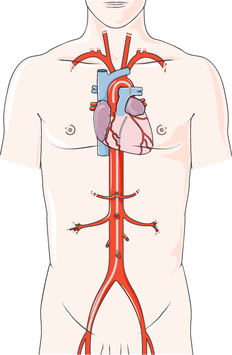 Neck clipart body chest. Heart archives servier medical