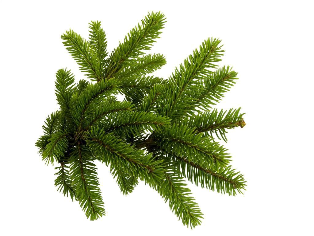 Spruce branch clip art. Needle clipart pine tree