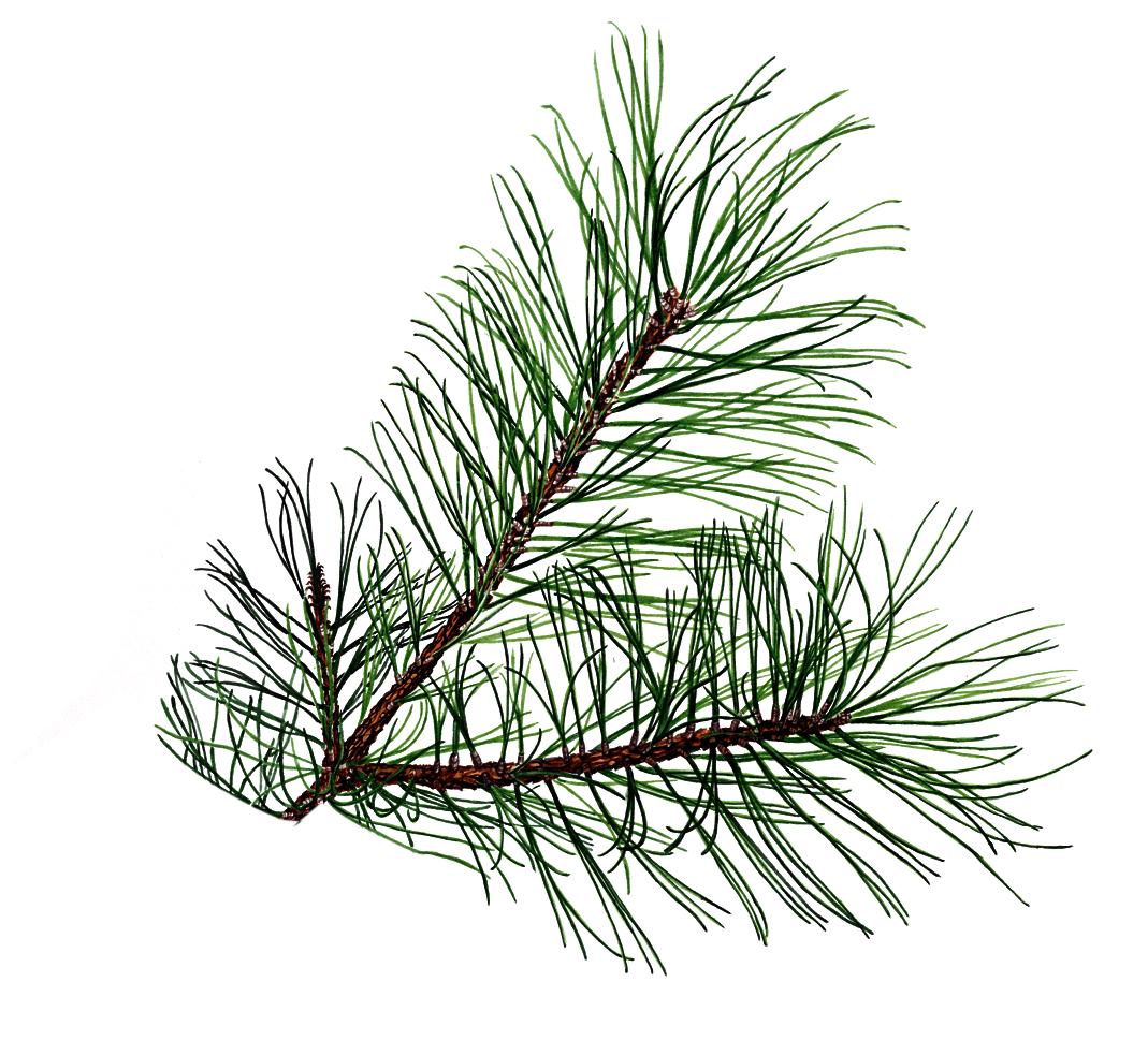 Drawings of cones and. Needle clipart pine tree