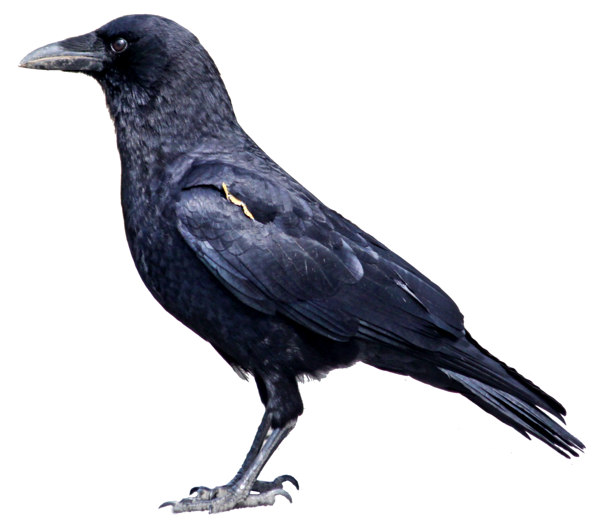 Austin bird removal and. Nest clipart crow nest