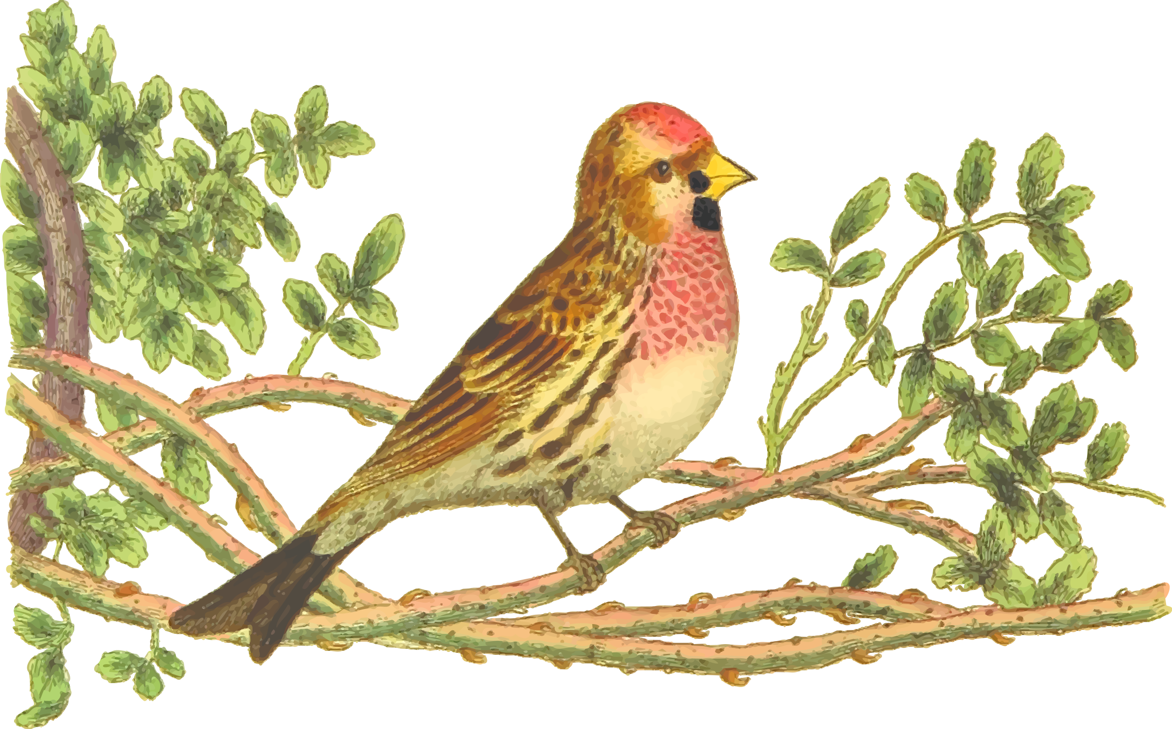 Nest clipart drawn bird. Ortolan bunting finch drawing