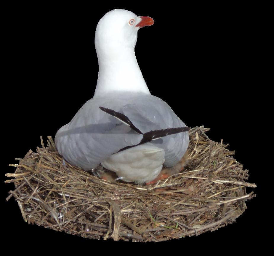 Nesting seagull hb by. Nest clipart goose egg