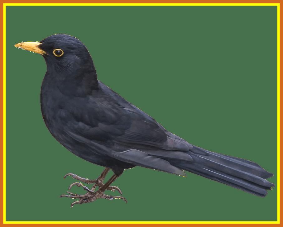 Nest clipart pigeon nest. The best blackbird png