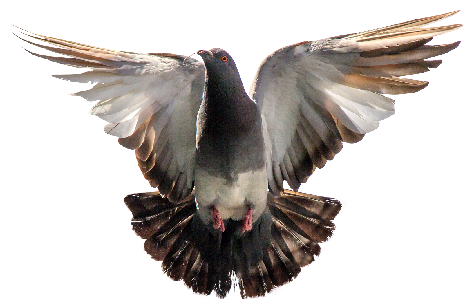 Wing clipart pigeon wing. Birds png images pngpix