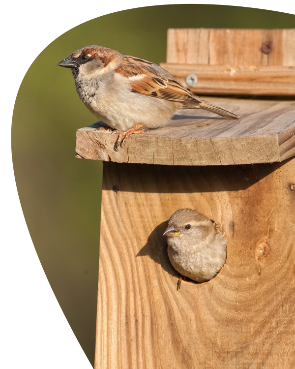 Nest clipart sparrow nest. Singing sparrows mystery of
