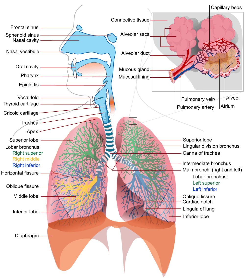 Breathing for . Nose clipart respiratory system