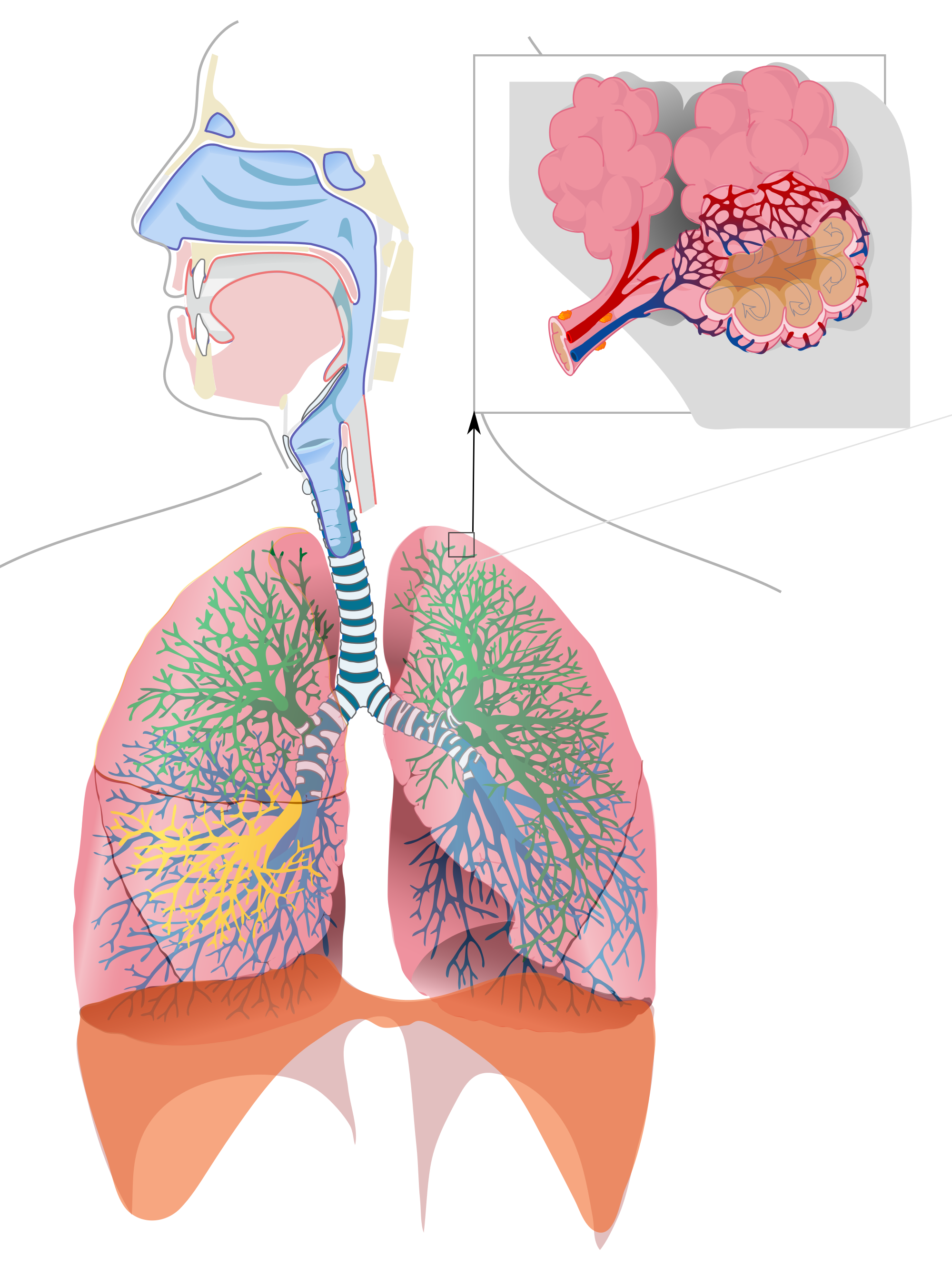 Nose clipart respiratory system. In humans thinglink with
