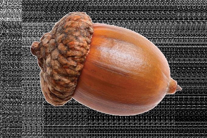 Acorn png transparent images. Nut clipart acron