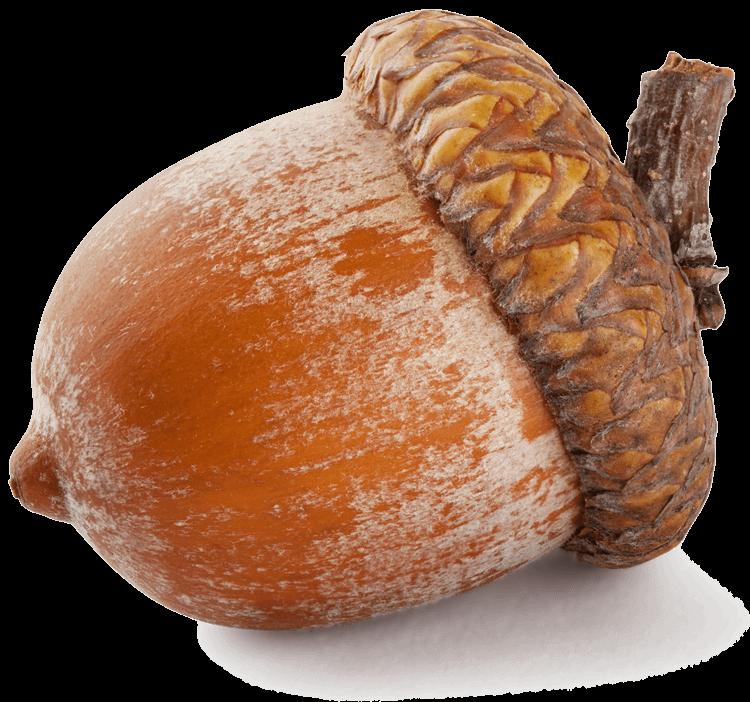 Large acorn transparent png. Nut clipart acron