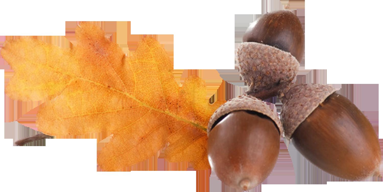 Nut clipart autumn acorn.  png oto o