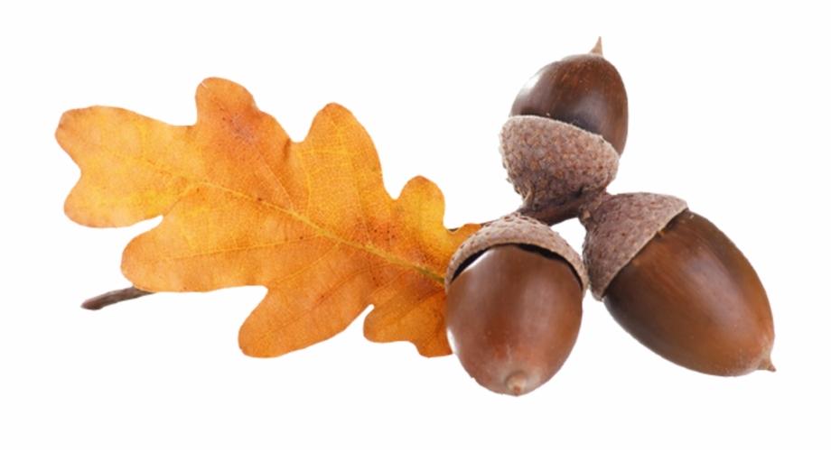 Acorns png transparent . Nut clipart autumn acorn