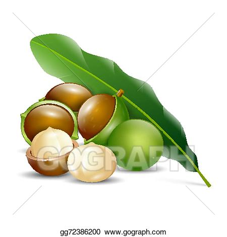 Nut clipart macadamia nut. Vector art nuts white