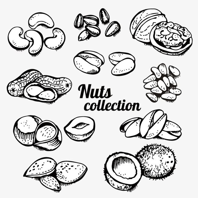 Nuts clipart outline. Hand painted roasted vector