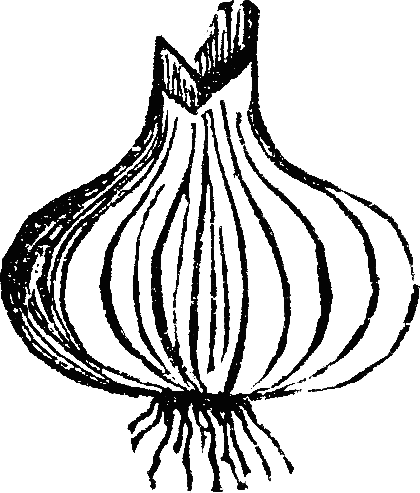 Onion clipart colouring page. Paperonion bespoke web design