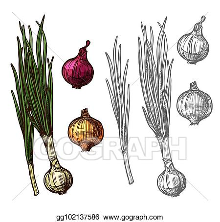 Vector illustration or scallion. Onion clipart onion leaves