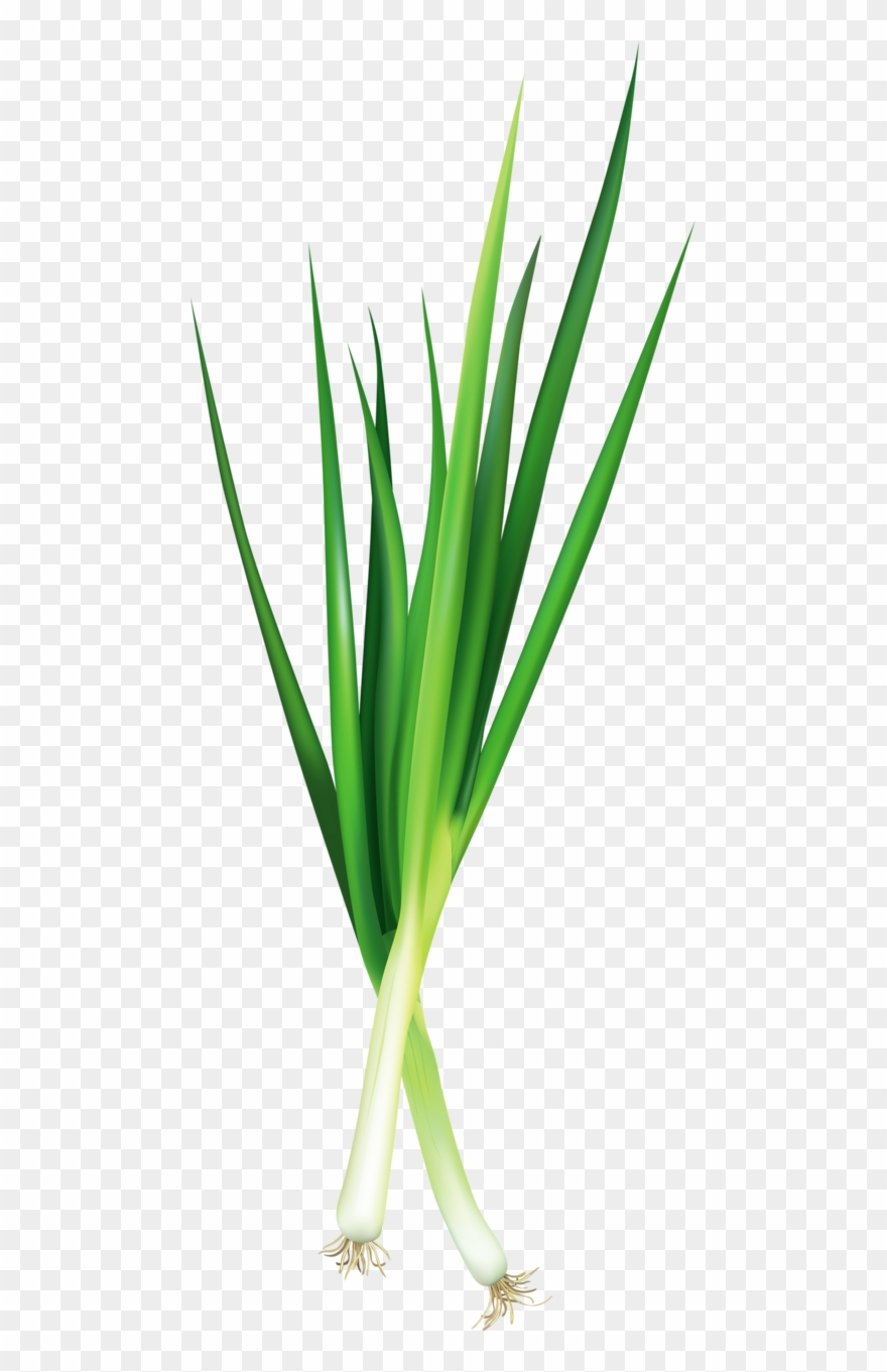 Onion clipart onion leaves.  vegetable pictures food