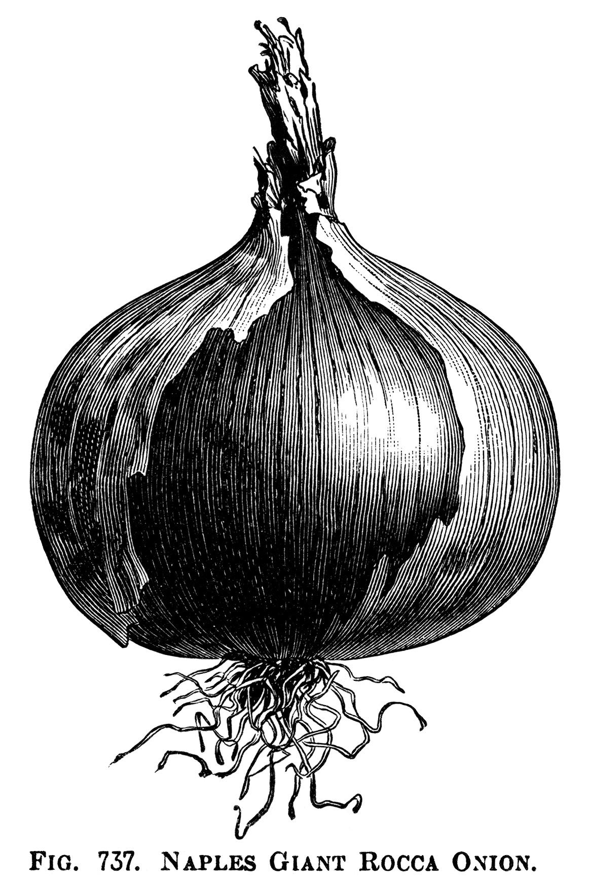 Onion clipart vintage. Onions clip art old