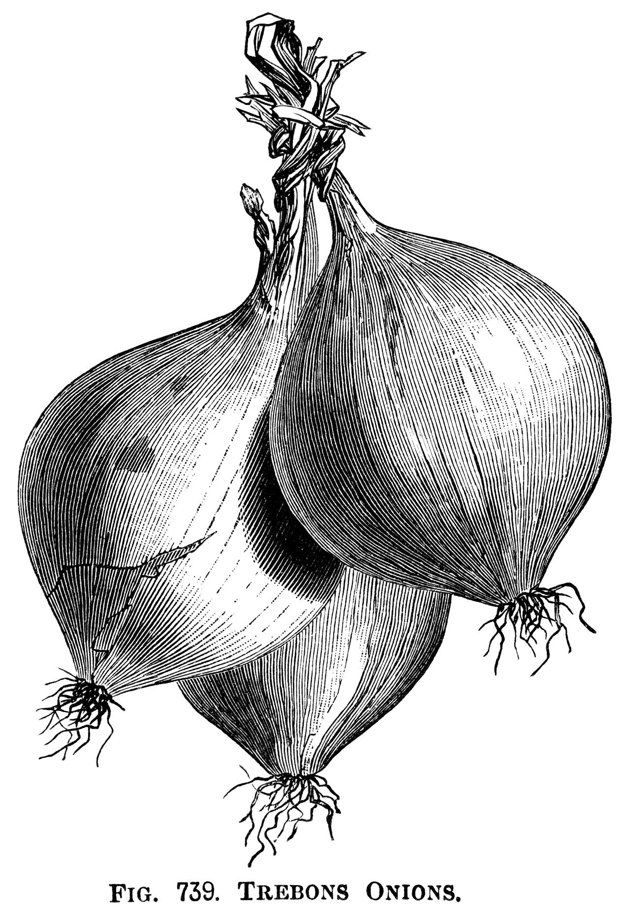 Onion clipart vintage. Trebons onions clip art