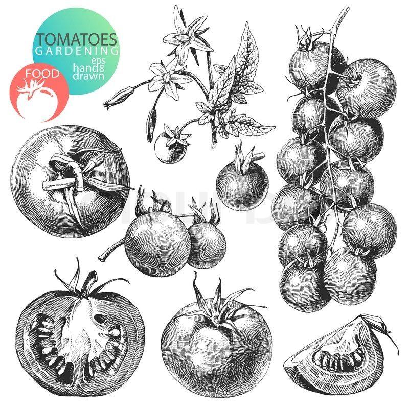 Onions clip art google. Onion clipart vintage