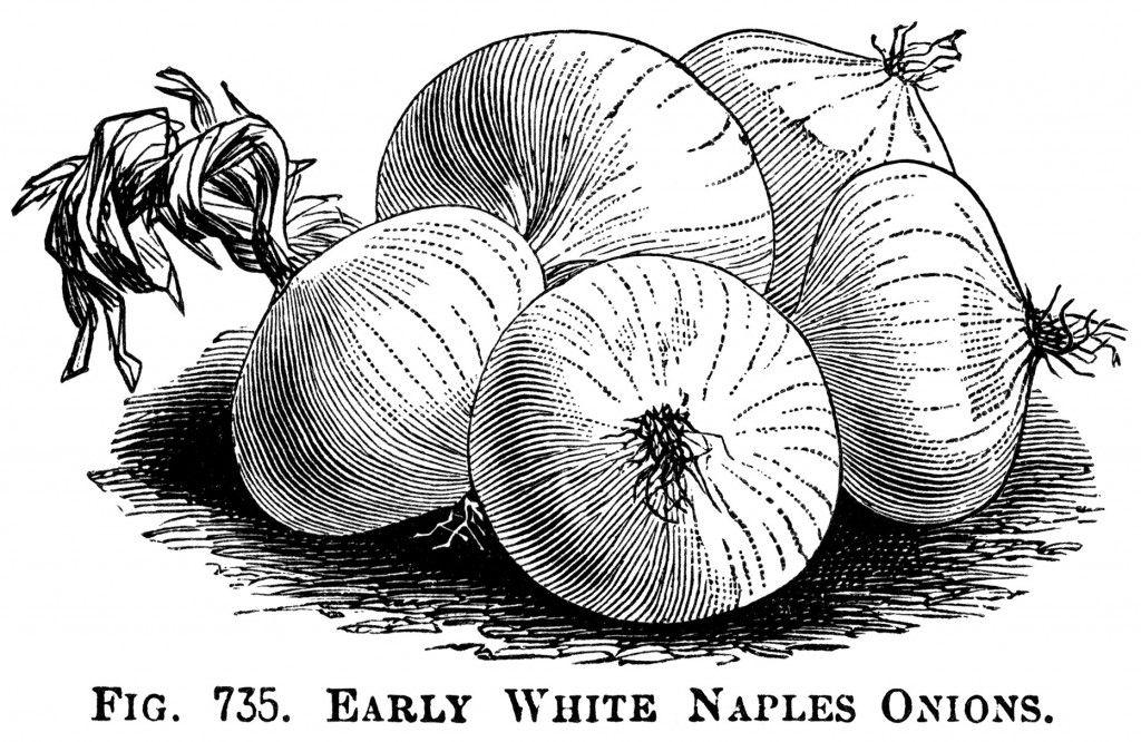 Black and white illustration. Onion clipart vintage