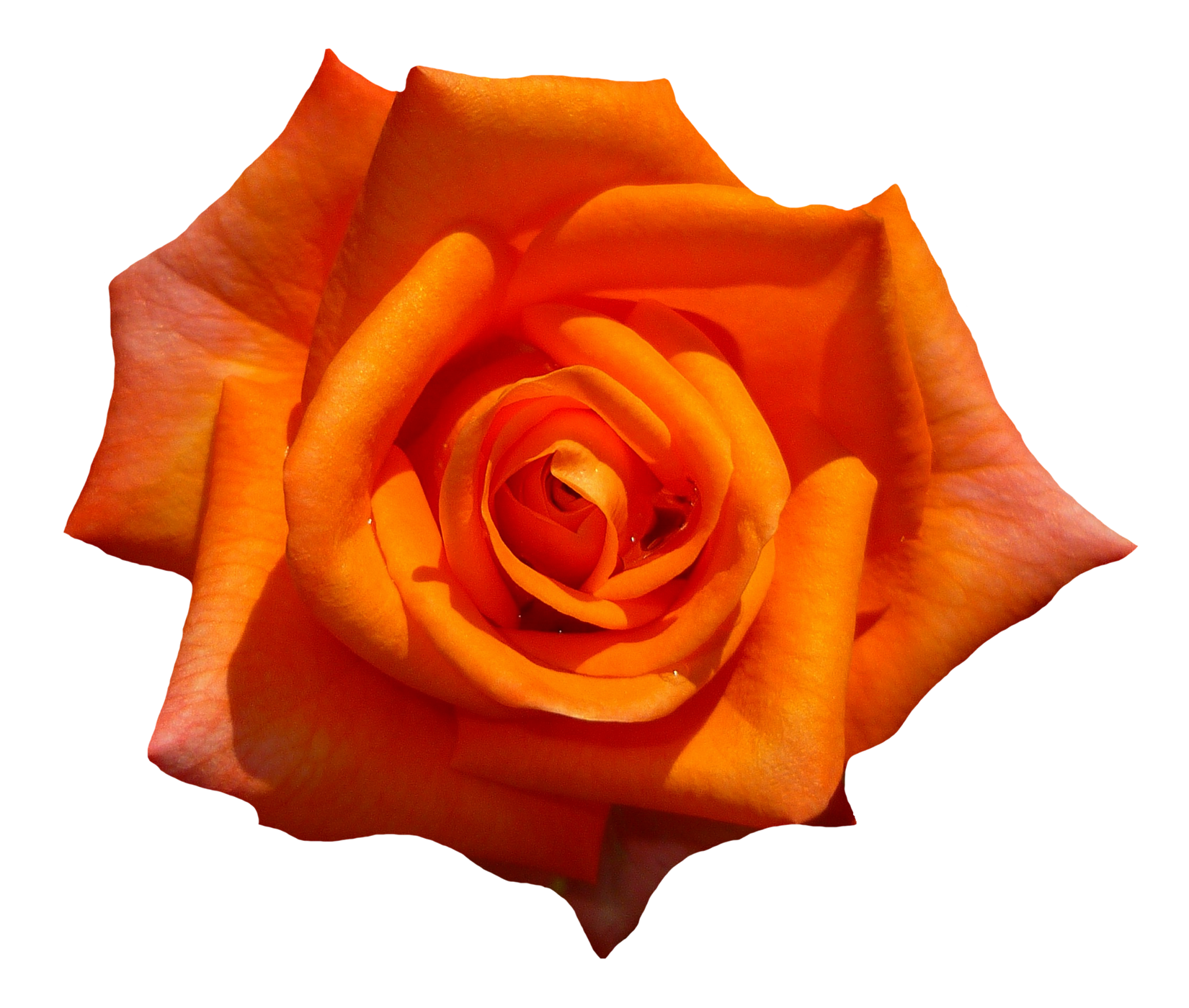 Rose top view image. Orange flower png