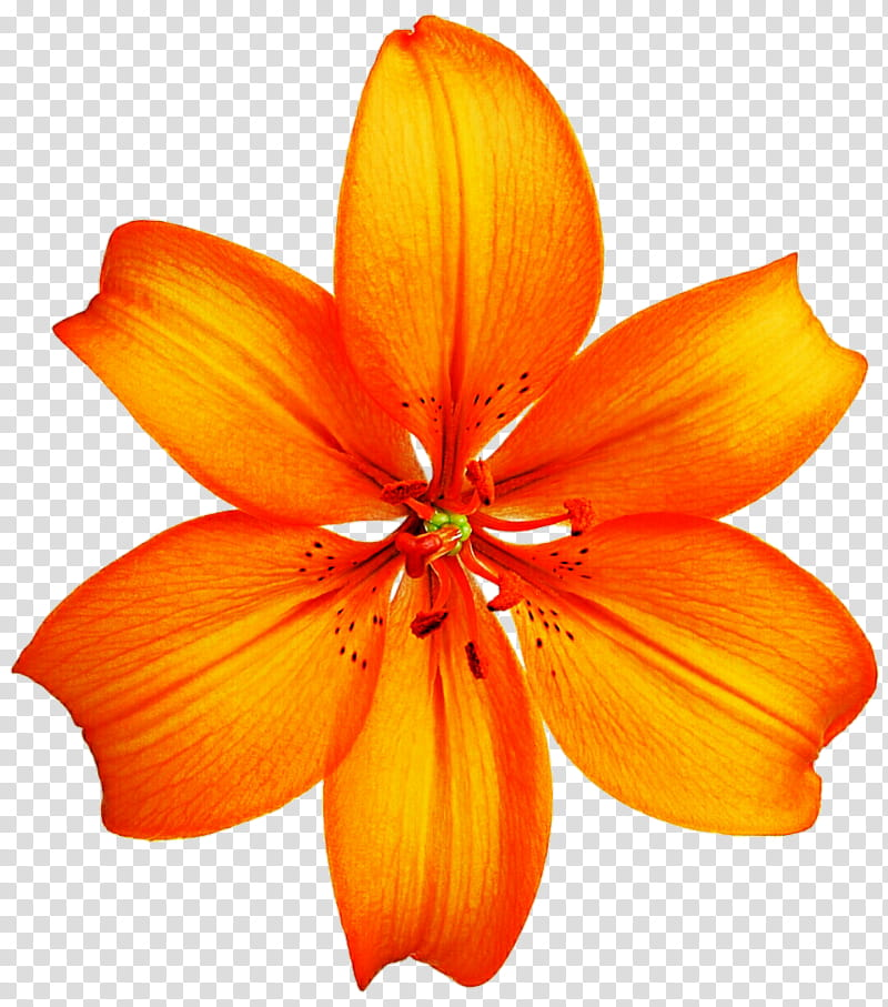 Oranges clipart lilies. Orange lily transparent background