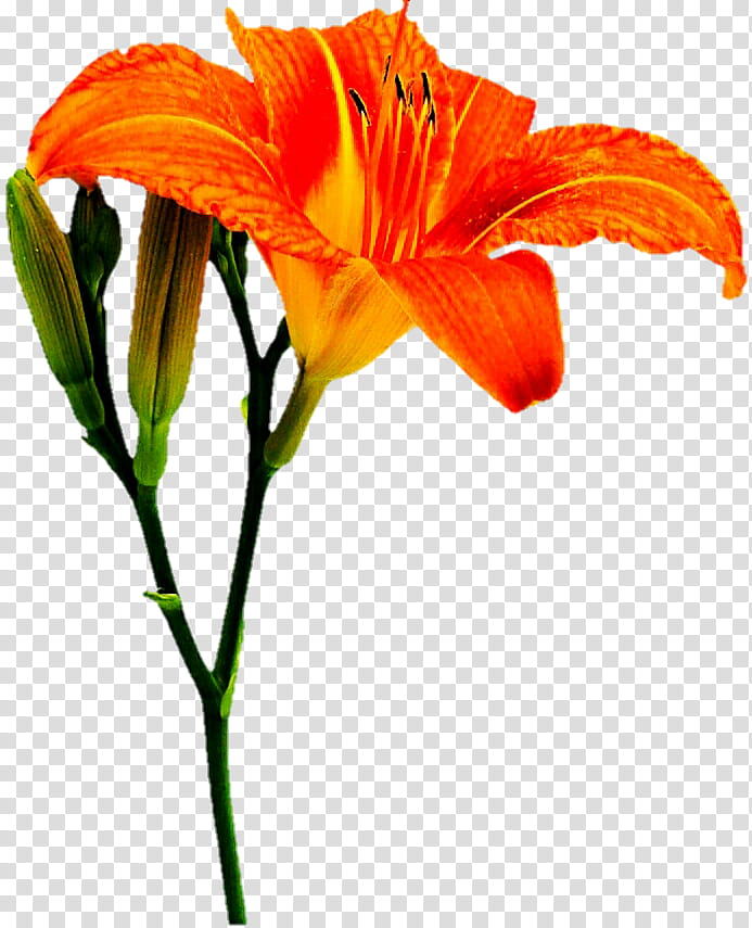Orange lily transparent background. Oranges clipart lilies