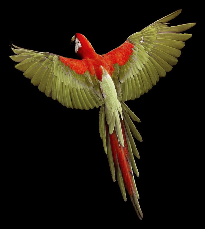 Forgetmenot parrots. Oranges clipart parrot