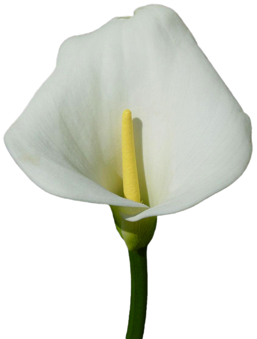 Large lily png gallery. Purple clipart calla lilies