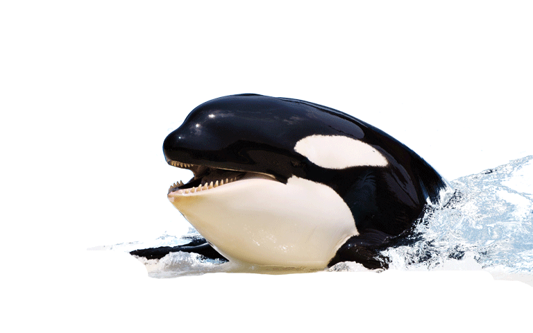 Orca clipart realistic. Png hd whale transparent
