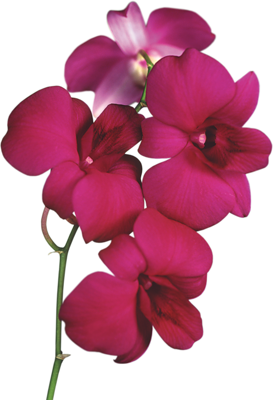 Transparent red orchid png. Poetry clipart bloom