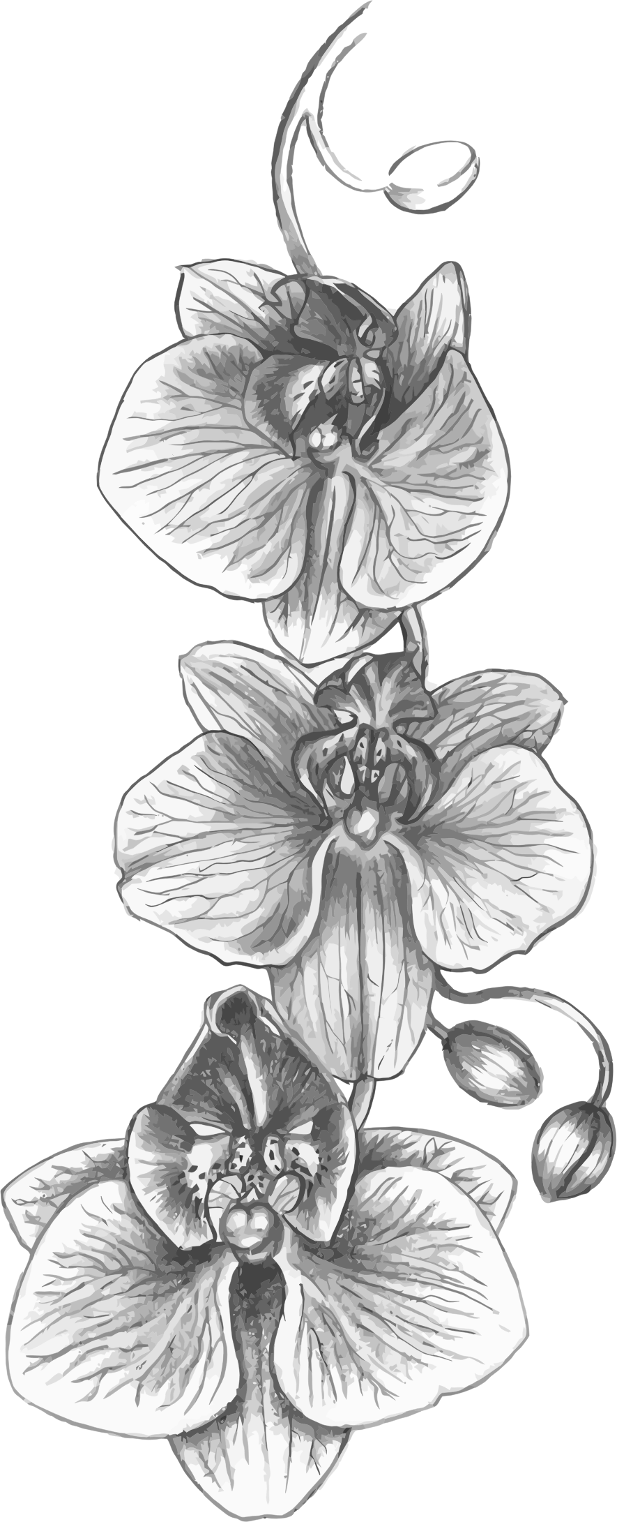 Clipart orchid big image. Flower sketch png
