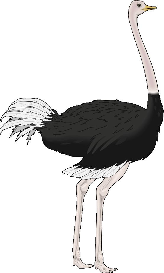 . Ostrich clipart