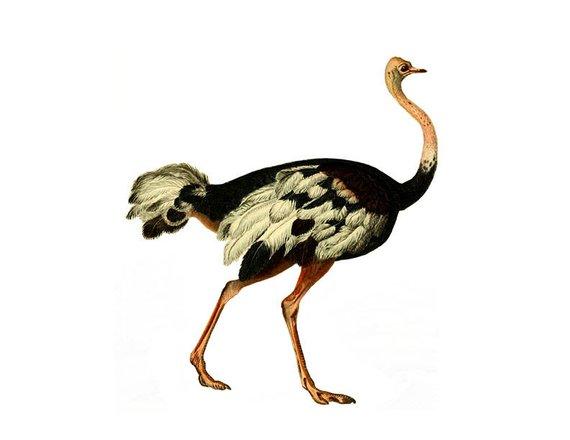 Vintage french children s. Ostrich clipart