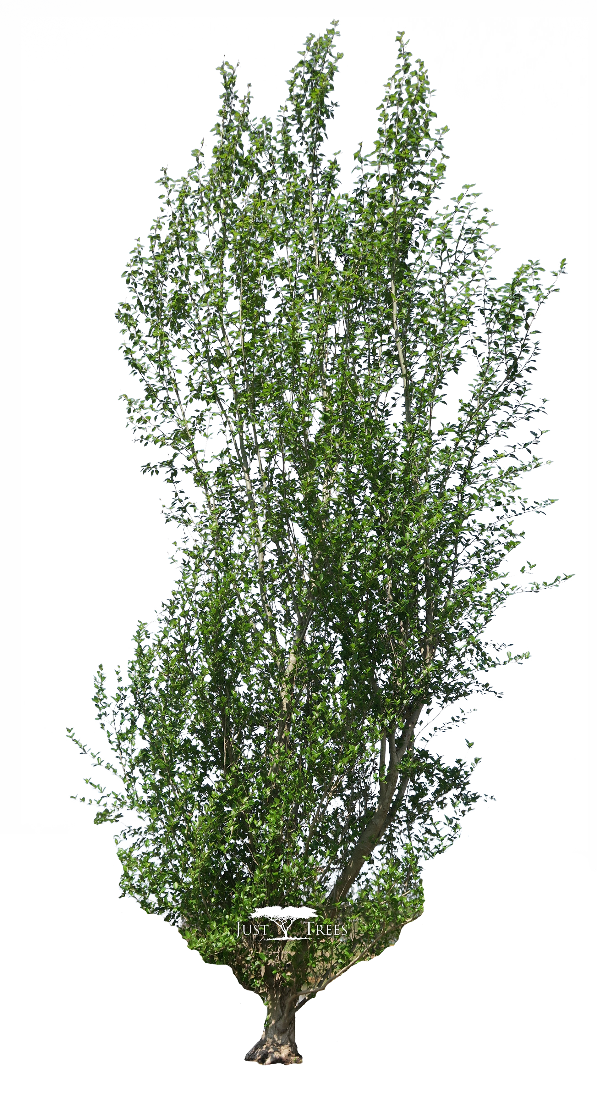 Populus simonii common name. Outdoors clipart swamp grass