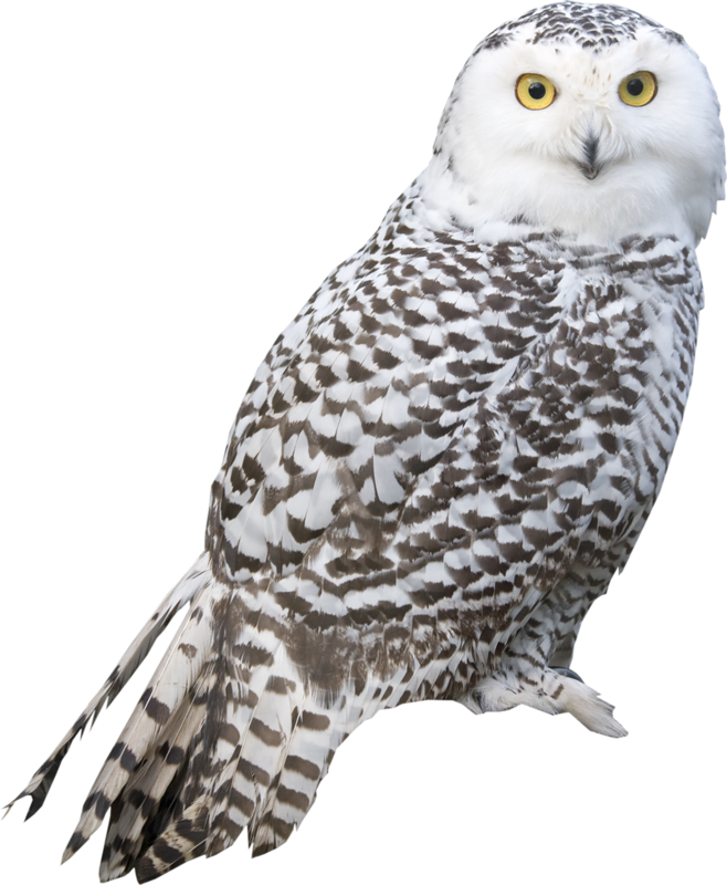 Owl png . Owls clipart transparent background
