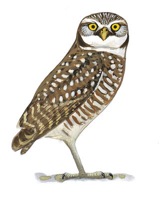 Are the family next. Owls clipart burrowing owl
