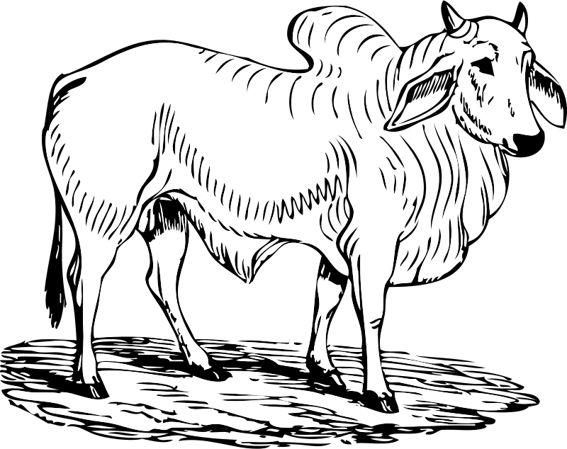 Ox clipart vector. Brahma bull medium image
