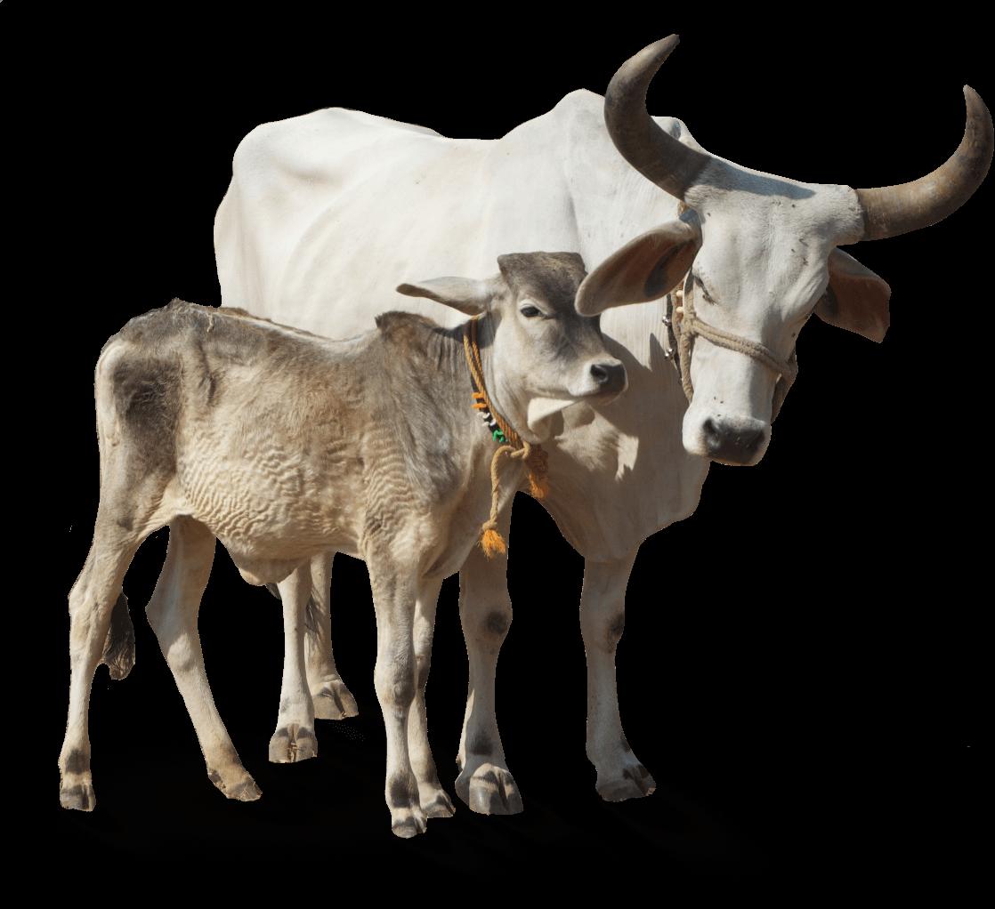 Indian cowbreeds. Ox clipart zebu