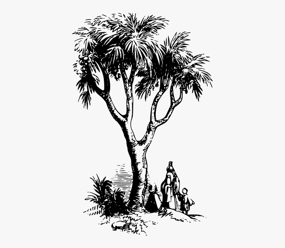 Plant doum drawing free. Palm clipart tree egypt