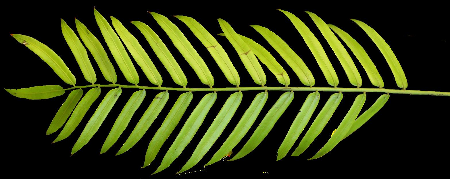 Palm clipart watercolor. Branch leaf manuscript arecaceae