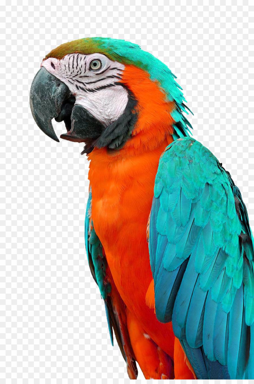 Png budgerigar download . Parrot clipart beautiful parrot