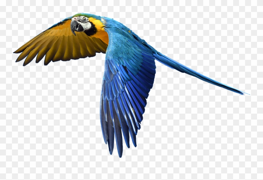 Free photo flight colorful. Parrot clipart bird fly